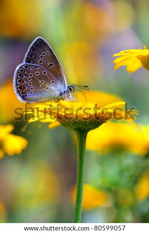 Common Blue butterfly and yellow chamomile flower - stock photo