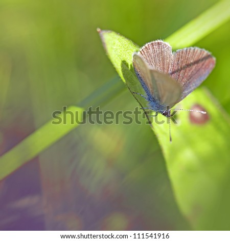 Common blue butterfly on a brown ray knapweed - stock photo