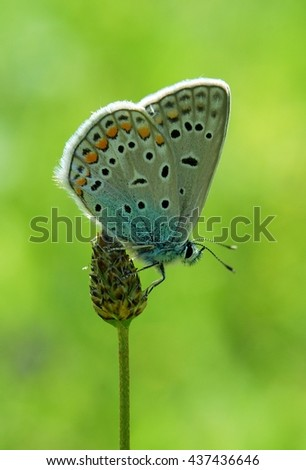 Common Blue butterfly - polyommatus icarus - stock photo