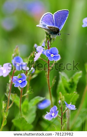 Common Blue butterfly - polyommatus icarus and flowering speedwell, bird's eye, and gypsyweed - Veronica (plant) - stock photo