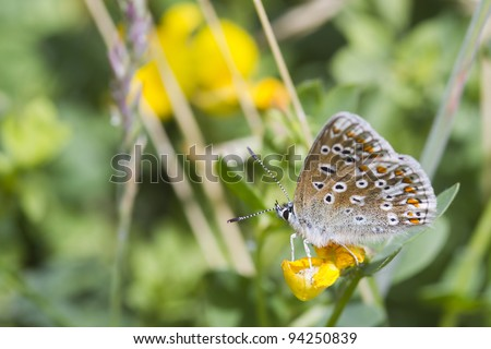 Common Blue Butterfly (Polyommatus icarus) is a small butterfly in the family Lycaenidae. - stock photo