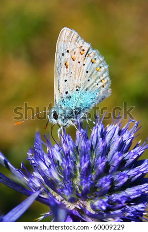 Common Blue Butterfly - Polyommatus icarus on Marjoram - Origanum vulgare - stock photo