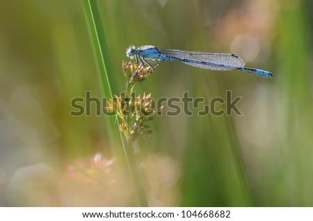 Common Blue Damselfly (Common Bluet) on Soft Rush (Common Rush), The Netherlands - stock photo