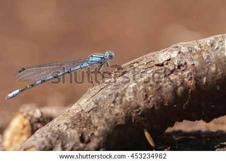 Common Blue Damselfly - macro