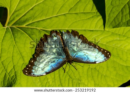 Common Blue Morpho butterfly sitting on green leaf in early morning sunlight - stock photo
