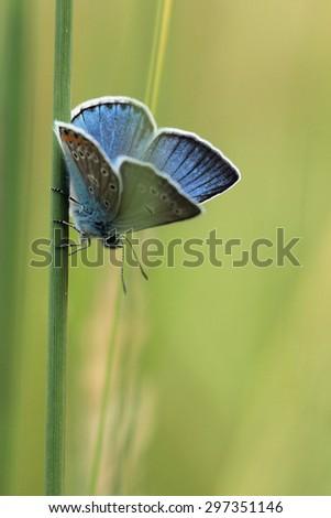 Common Blue (Polyomathus icarus)  - stock photo