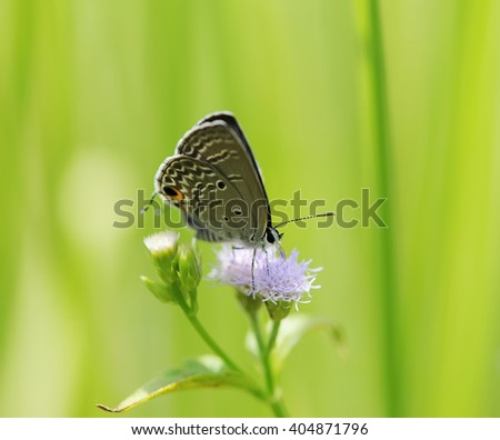 Common Blue (Polyommatus icarus) butterfly in natural habitat - stock photo