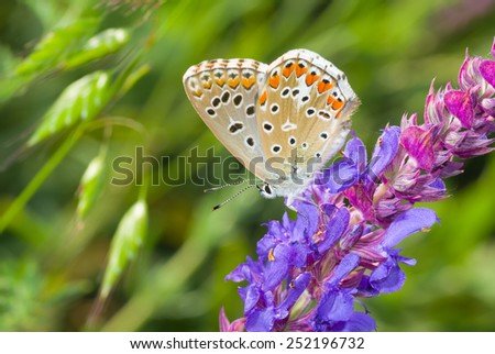 Common Blue (Polyommatus icarus) butterfly on a wild sage at summer season - stock photo