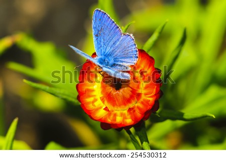 Common Blue (Polyommatus icarus) butterfly on strawflower - stock photo