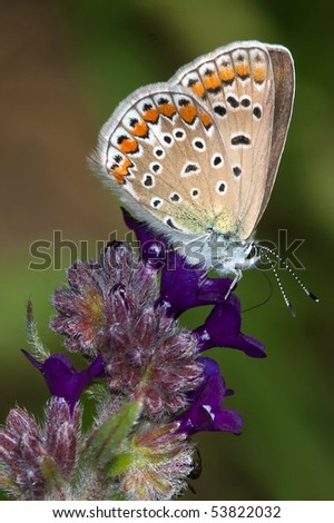 common blue ( Polyommatus icarus ) female on a violet flower - stock photo