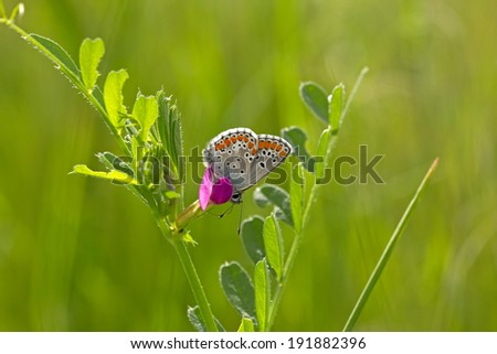 common blue sitting on a flower in the Pirin Mountains in Bulgaria - stock photo