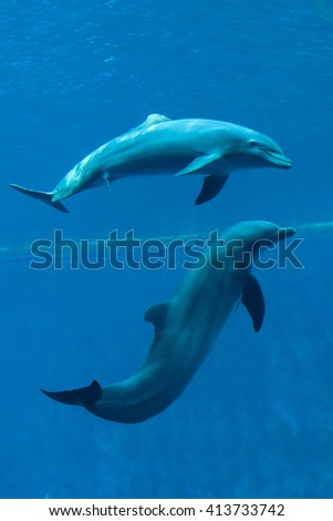 Common bottlenose dolphins (Tursiops truncatus) swim with erected penises. Wild life animal.  - stock photo
