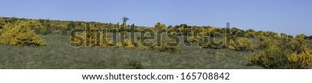 common broom [Cytisus scoparius, syn: Spartium scoparium, Sarothamnus scoparius, Genista scoparia]  at the Dreiborner Hochflaeche, Germany - stock photo