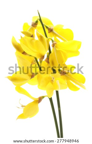 Common broom on a white background
