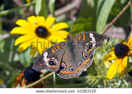 Common Buckeye Butterfly in Garden with Yellow Flowers - stock photo