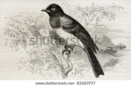 Common Bulbul old illustration (Pycnonotus barbatus). Created by Kretschmer and Illner, published on Merveilles de la Nature, Bailliere et fils, Paris, 1878 - stock photo
