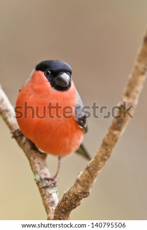 Common Bullfinch, Pyrrhula pyrrhula on a branch. Shallow depth of field and bakground blurred - stock photo