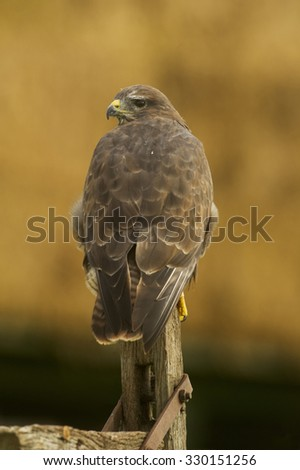 Common Buzzard (Buteo buteo) perched on old gate post