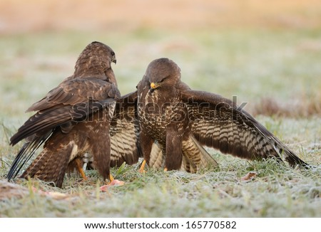 Common buzzard eating meat - stock photo