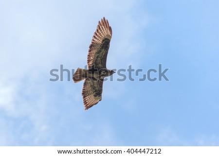 Common buzzard flying - stock photo