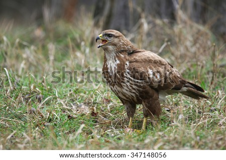 Common Buzzard/ Forest/ wildlife