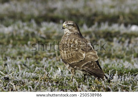 common buzzard in a winter scene / Buteo buteo - stock photo