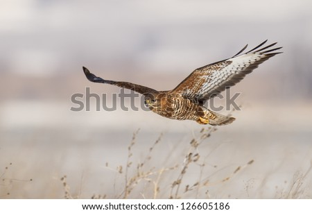 Common buzzard in flight (Buteo buteo) - stock photo