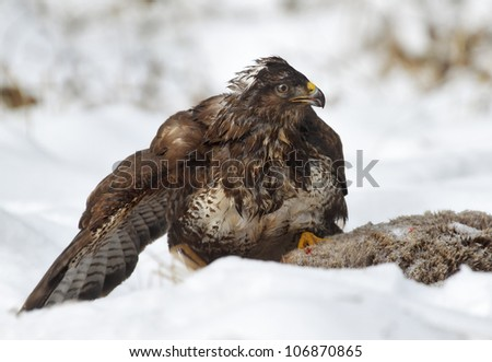 Common buzzard perched on roe deer carcass