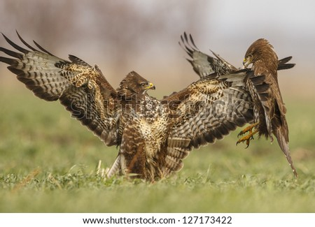 Common Buzzards fight - Buteo Buteo - stock photo