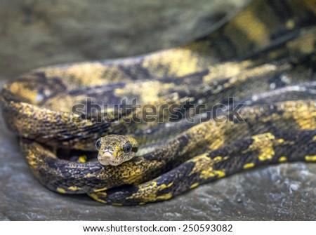 common cat- eyed snake (Leptodeira annulata). - stock photo