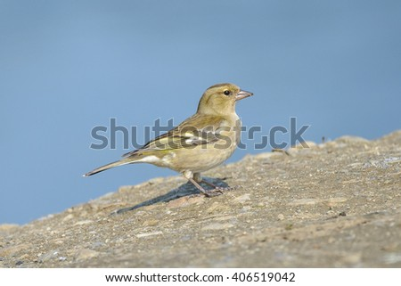 Common chaffinch.Close up of female against blue background. - stock photo