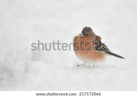 Common Chaffinch (Fringilla coelebs) male - with feathers fluffed up trapping air as insulation against the cold on a snowy winter day - stock photo
