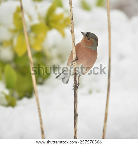 Common Chaffinch in snow in winter perching on dead dried Allium stalk - Scotland, UK - stock photo
