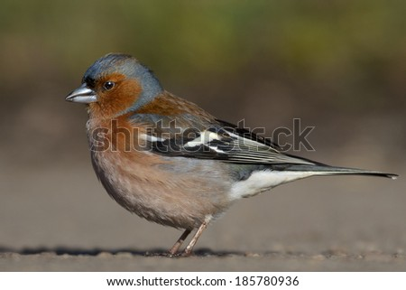 Common Chaffinch walking in the natural environment.