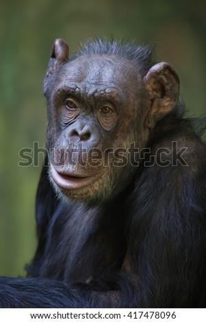 Common chimpanzee (Pan troglodytes), also known as the robust chimpanzee. Wild life animal.  - stock photo