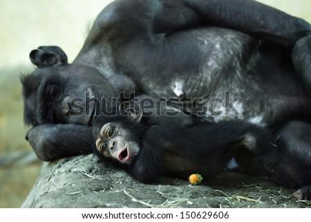 Common chimpanzee (Pan troglodytes) with a cute cub. - stock photo