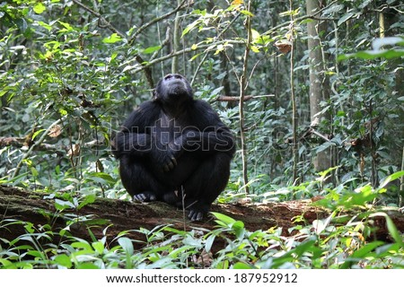 Common Chimpanzee - Scientific name: Pan troglodytes sitting on a dead tree log on the forest floor looking up at a sound in the canopy, Kibale Forest National Park, Rwenzori Mountains, Uganda, Africa - stock photo