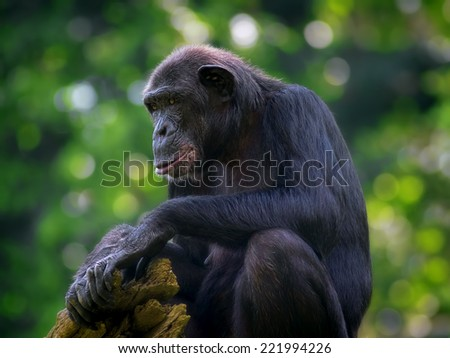 Common Chimpanzee sitting in the wild