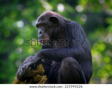 Common Chimpanzee sitting in the wild - stock photo