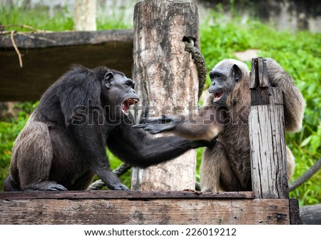 Common Chimpanzee sitting next in the Zoo - stock photo