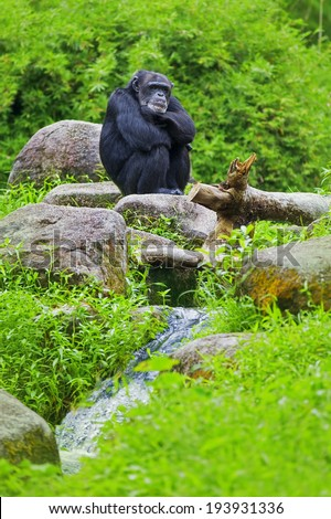 Common Chimpanzee sitting next to a river in the wild - stock photo