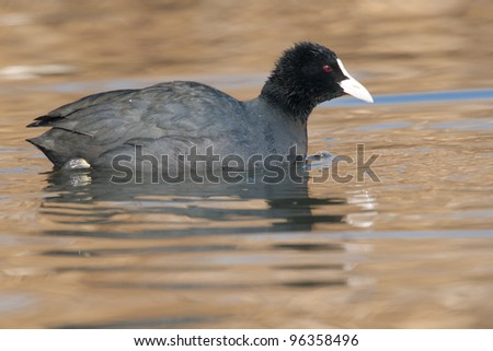 Common Coot on ice