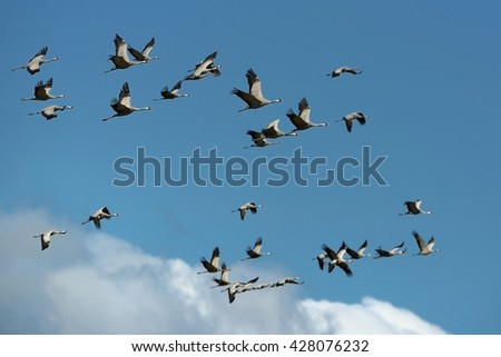 Common Crane - Grus grus flock of the cranes flying on the blue sky - stock photo