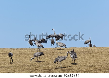 Common Cranes dancing and grazing on field