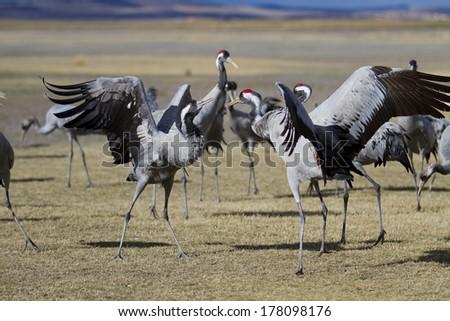 Common Cranes Grus grus in Gallocanta, Spain - stock photo