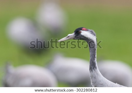Common cranes in Germany