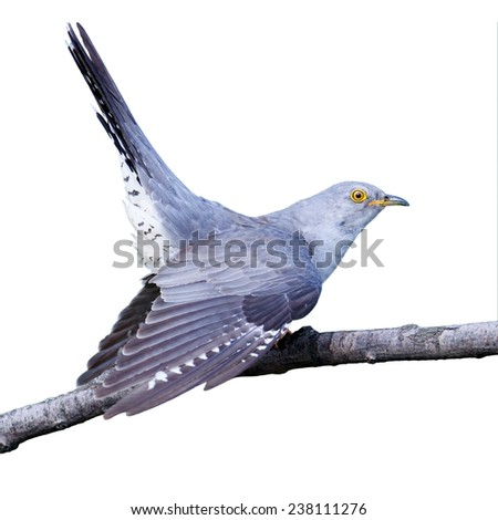 Common Cucko (Cuculus canorus) in front of white background, isolated. - stock photo