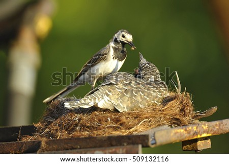 Common cuckoo (Cuculus canorus) White Wagtail. Motacilla alba