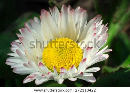 Common daisy blooming - stock photo
