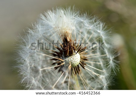 common dandelion flower after blooming spreading seeds with the wind in summer macro photo - stock photo